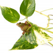 Tree frog (Litoria infrafrenata) on the leaf of the plant called scindapsus and isolated on a white background — Stock Photo