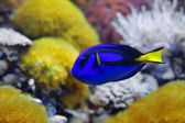 Blue tang (Paracanthurus hepatus), a number of common names are attributed to the species, including Palette surgeonfish, Regal tang — Stock Photo