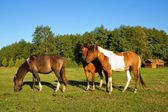 Horses, Stallion with a penis on top and Mares in the pasture — Stock Photo