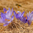 Honeybee (Apis mellifera), bee flying over the crocuses in the spring on a mountain meadow in the Tatra Mountains, Poland — Stock Photo #40514601