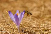 Honeybee (Apis mellifera), bee flying over the crocus in the spring on a mountain meadow in the Tatra Mountains, Poland — Stock Photo
