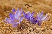 Honeybee (Apis mellifera), bee flying over the crocuses in the spring on a mountain meadow in the Tatra Mountains, Poland — Stock Photo