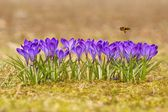 Honeybee (Apis mellifera), bee flying over the crocuses in the spring on a meadow — Stock Photo