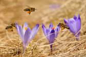 Honeybees (Apis mellifera), bees flying over the crocuses in the spring on a mountain meadow in the Tatra Mountains, Poland — Stock Photo