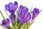 Crocus, flowers on a white background — Photo