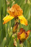 Iris (Iris L.), flowers in garden — Stockfoto