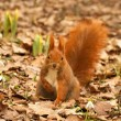 Red Squirrel (Sciurus vulgaris) and Snowdrops, Spring, the Royal Baths Park in Warsaw, Poland — Stock Photo