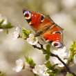 Spring, Butterfly EuropePeacock (Inachis io) on flourishing fruit tree as background — Stock Photo #41564805