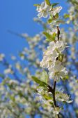 Flowering fruit tree as background, Spring — Stock Photo