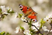 Spring, Butterfly European Peacock (Inachis io) on the flourishing fruit tree as background — Stock Photo