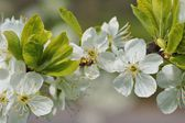 Spring, Honeybee (Apis mellifera) on the flourishing fruit tree as background — Stock Photo