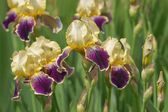 Iris genial, flower (Iris hybrida) — Stock Photo