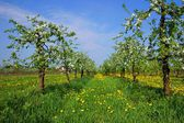 Orchard, blooming apple trees, spring — Stock Photo