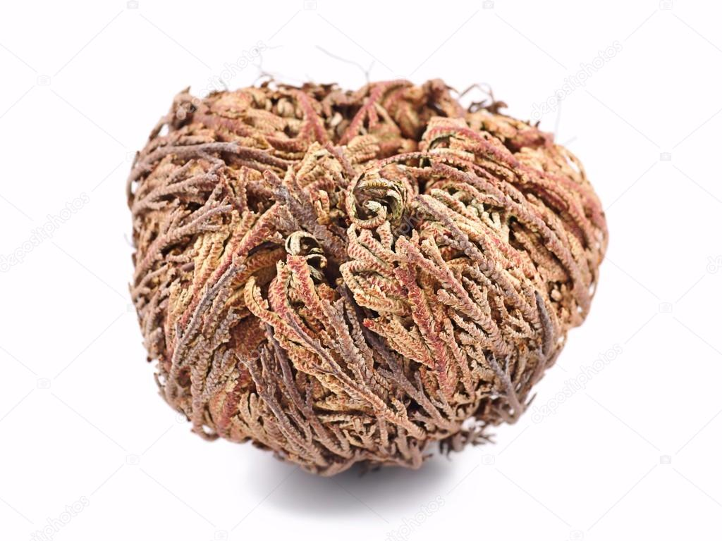 how to use rose of jericho