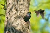 Common Starling (Sturnus vulgaris), also known as the European Starling or in the British Isles just the Starling, birds outgoing out of the nest in a hollow, spring — Stock Photo