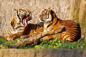 Tiger (Panthera tigris), female and male showing tusks — Stock Photo
