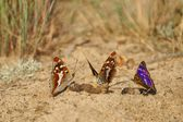 Lesser Purple Emperor (Apatura ilia), butterflies feeding on feces — Stock Photo