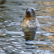 Grey Seal (Halichoerus grypus), animal emerging from the water, as a background — Stock Photo #44208945
