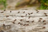 Ant (Formica rufa), also known as the Red Wood Ant, Southern Wood ant or Horse Ant, is a boreal member, the photo ants on a log of wood as a background — Stock Photo