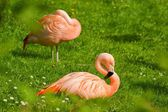 Flamingo (Phoenicopterus), bird resting on the grass — Stock Photo