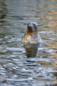 Grey Seal (Halichoerus grypus), animal emerging from the water, as a background — Stock Photo