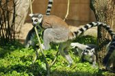 Ring-tailed Lemur (Lemur catta) — Foto de Stock