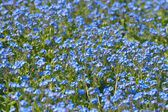 Myosotis, Forget-me-nots as a background, Forget Flowers — Stock Photo