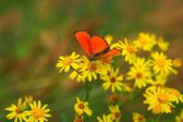 Scarce Copper (Lycaena virgaureae) butterfly on yellow flowers — Stock Photo