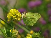 Common Brimstone (Gonepteryx rhamni), butterfly drinking nectar from the yellow flowers — Stock Photo