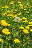 Dandelion (Taraxacum officinale), flowers in the meadow, spring. A dandelion flower head composed of hundreds of smaller florets and seed head — Stock Photo