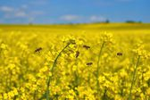 Bees (Apis mellifera), Honeybees in flight at the rape field — Stock Photo