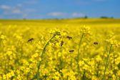 Bees (Apis mellifera), Honeybees in flight at the rape field — Stock Photo