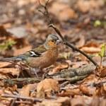 Common Chaffinch (Fringilla coelebs), male, spring — Stock Photo #47625101