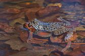 Moor Frog (Rana arvalis), pair of frogs during mating in the water, spring — Stock Photo