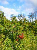 Plantation of Raspberries (Rubus idaeus L.), fruit growing on bush, autumn — Stock Photo