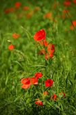 Poppy, Papaver rhoeas (common names include corn poppy, corn rose, field poppy, Flanders poppy, red poppy, red weed, coquelicot, and, due to its odour, which is said to cause them, as headache and hea — Stock Photo