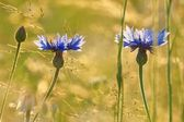 Cornflowers (Centaurea pullata), as background. Centaury, Centory, Starthistles, Knapweeds, Centaureas and the more ambiguous Bluets — Stock Photo