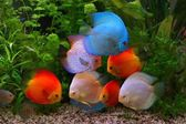 Discus (Symphysodon), multi-colored cichlids in the aquarium, the freshwater fish native to the Amazon River basin — Stock Photo
