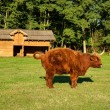 Cow, red Highland cattle (Scottish Gaelic) peeing on pasture — Stock Photo