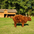 Cow, red Highland cattle (Scottish Gaelic) peeing on pasture — Stock Photo #48805015