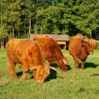 Cows, red Highland cattle (Scottish Gaelic) young bull and two cows on the pasture — Stock Photo #48805087