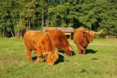 Cows, red Highland cattle (Scottish Gaelic) young bull and two cows on the pasture — Stock Photo