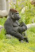 Gorilla (Gorilla), sitting male with a green twig in the paw — Stock Photo