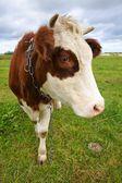 Vaca en pasto, retrato — Foto de Stock