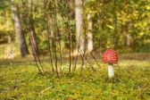 Fly agaric (Amanita muscaria) on a clearing in the forest — Stock Photo