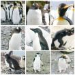 Collage with different penguin species — Stockfoto