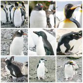 Collage with different penguin species — Stok fotoğraf