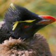 Stock Photo: Headshot of young Rockhopper Penguin.