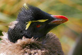 Headshot på unga rockhopper penguin. — Stockfoto