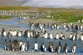 Jonge koning pinguïns — Stockfoto